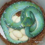 aru green tree python