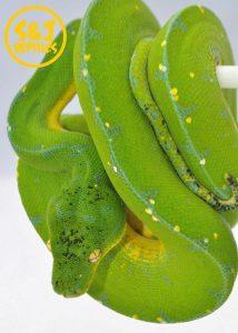 lereh green tree python