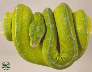green tree python sorong