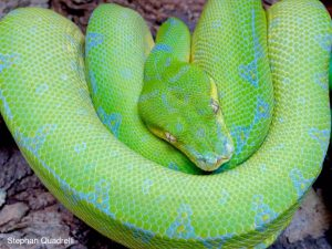 sorong green tree python