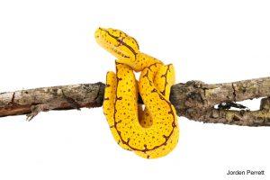 wamwna green tree python