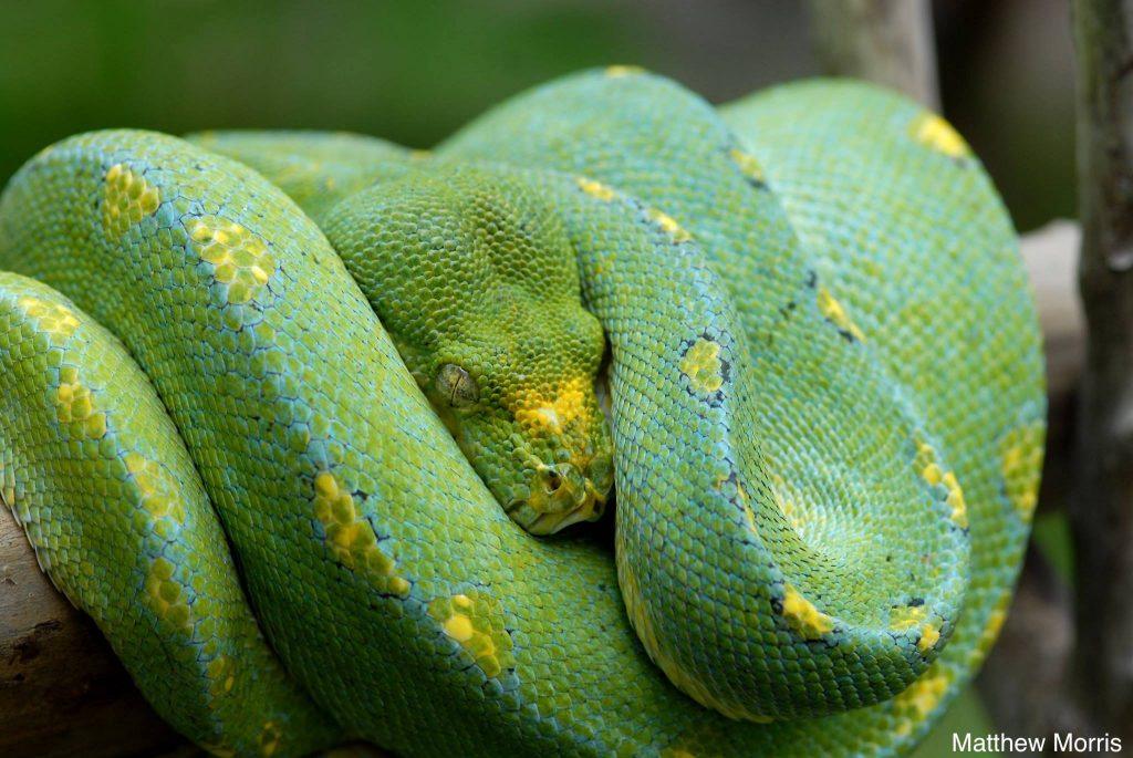 wamena green tree python