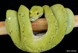 biak green tree python
