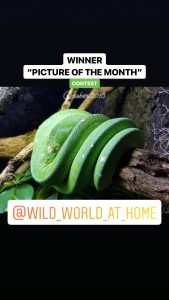 green tree python photo
