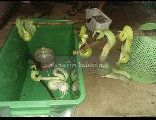this is how wild caught green tree pythons are kept.