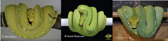 kofiau green tree python