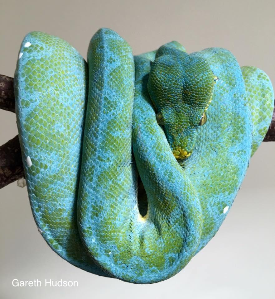 manokwari green tree python