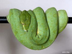 green tree python wamena
