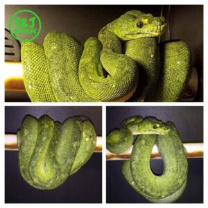 green tree python biak