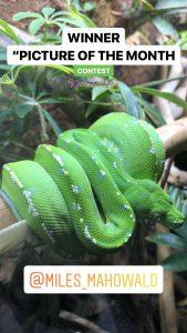 green tree python photo