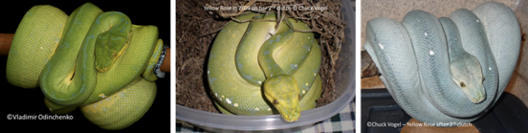 kofiau green tree pythons