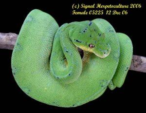 jayapura type